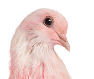 Close-up of a Pink Dove Royalty Free Stock Photo