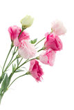 Close up of  pink eustoma flowers Royalty Free Stock Photo