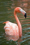 Close-up pink flamingo Royalty Free Stock Photography