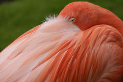 Close up of a pink flamingo Royalty Free Stock Image