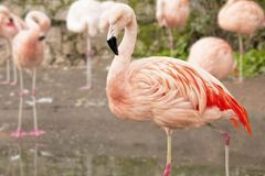 Close up of a pink flamingo with others in the background Stock Photo