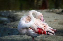 Close-up pink flamingo portrait Royalty Free Stock Photos