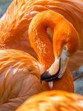 Close up of a pink flamingo Royalty Free Stock Images