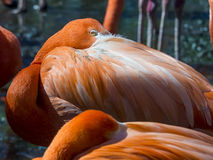 Close up of a pink flamingo Stock Images