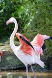 Close-up of a pink flamingos of camargue Stock Photo