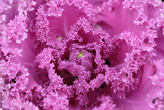 Close up of a pink flower Royalty Free Stock Image