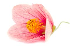 Close-up pink flower Royalty Free Stock Images