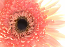 Close Up of a Pink Flower Stock Images