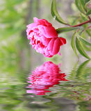 Close-up of pink flower. On the water. Soft colors Royalty Free Stock Photos