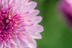 Close up pink  flower abstract background flower abstract backgr. Ound Stock Photos