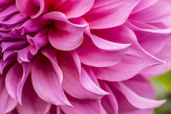 Close up of pink flower : aster with pink petals and yellow heart for background or texture Royalty Free Stock Image