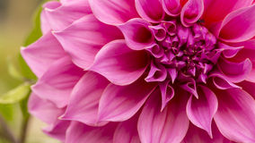 Close up of pink flower : aster with pink petals and yellow heart for background or texture Royalty Free Stock Images