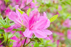 Close up of pink flower, Azalea of Thailand Stock Photos