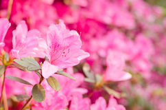 Close up of pink flower, Azalea of Thailand Stock Images