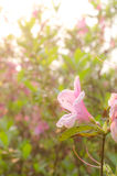 Close up of pink flower, Azalea of Thailand Royalty Free Stock Photo