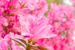 Close up of pink flower, Azalea of Thailand Royalty Free Stock Images