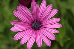 Close-up of Pink Flower Blooming Outdoors Stock Photos