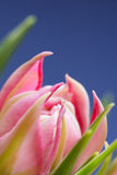 Close up pink flower blossom with blue background Stock Images