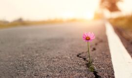 Free Close Up, Pink Flower Growing On Crack Street Sunset Background Stock Image - 172987671