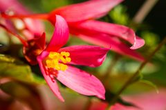 Close-up on a pink flower with a heart shape stamen Stock Photo