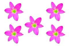 Close-up Pink flower of  Hedyotis corymbosa Lamk on white background. stock photography