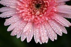 Close up of Pink flower with raindrop. 