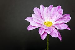 Close up of pink flower on right side Royalty Free Stock Photo