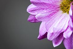 Pink flower in the corner Royalty Free Stock Image