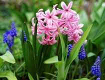 Pink Pearl Hyacinth flower at bloom in garden at spring stock images