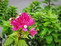 Pink Flowering Plant on Green Leaves Background. Close-up Pink Flowering Plant on Green Leaves Background royalty free stock photography