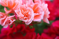 Close-up of pink flowers. On fuzzy background of red flowers stock image