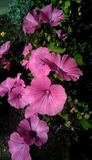 Close-up of pink flowers on a background of green leaves. Beautiful flowers in the form of a gramophone. stock photos