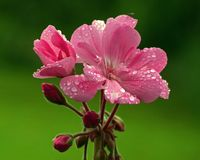 Pink flowers begonia geranium. Close-up of pink flowers begonia geranium in macro, with raindrops royalty free stock photography