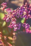 Close up on pink flowers of Bergenia cordifolia low contrast Stock Photography