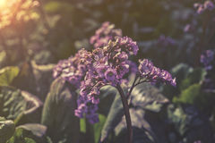 Close up on pink flowers of Bergenia cordifolia Stock Photography
