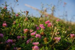 Pink flowers blooming on a mountain meadow stock photo
