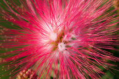 Close-up of pink flowers and carpel in the garden / Macro of pink flower and carpel in forest Royalty Free Stock Photos
