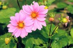 Chrysanthemum flower Royalty Free Stock Photos