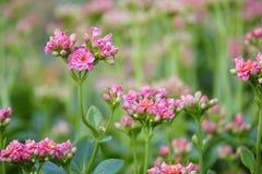 Winter pot kalanchoe. The close-up of pink flowers fo winter pot kalanchoe. Scientific name: Kalanchoe blossfeldiana Stock Images