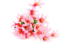 Close up of pink flowers. Isolated on a white background Royalty Free Stock Photos