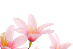 Close up of pink flowers. Isolated on a white background Royalty Free Stock Images
