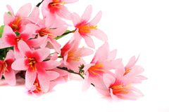 Close up of pink flowers. On a white background Royalty Free Stock Photography
