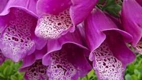 Close up of pink foxgloves (digitalis). Showing the detail on the petals Royalty Free Stock Image