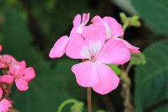 Close-up of a Pink Geranium blossom. Close up view of a Pink Geranium blossom with others in the background royalty free stock photography