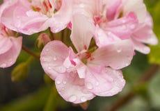 Close up of pink geranium flower. Close up of beautiful pink geranium flower petals with rain drops royalty free stock image