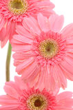Close up of pink gerber daisies stock photos