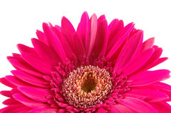 Close up of pink gerber daisy. In isolated white stock photos