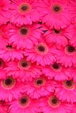 Close up of Pink Gerbera flower as background image. Close up of closely arranged and symmetrically aligned pink Gerbera flower on display truly inspired by royalty free stock photography