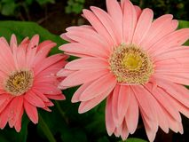 Close up of pink Gerbera flowers. Close up of pink blooms against green leaves on a Gerbera plant stock photos