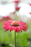 Close up Pink Gerberas flower Royalty Free Stock Images
